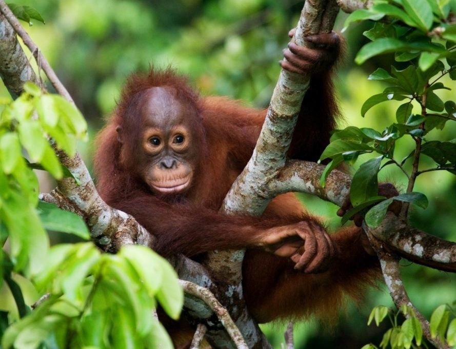 Orangutan, baby orangutan, primate, Tanjung Puting Reserve, Indonesia, Borneo